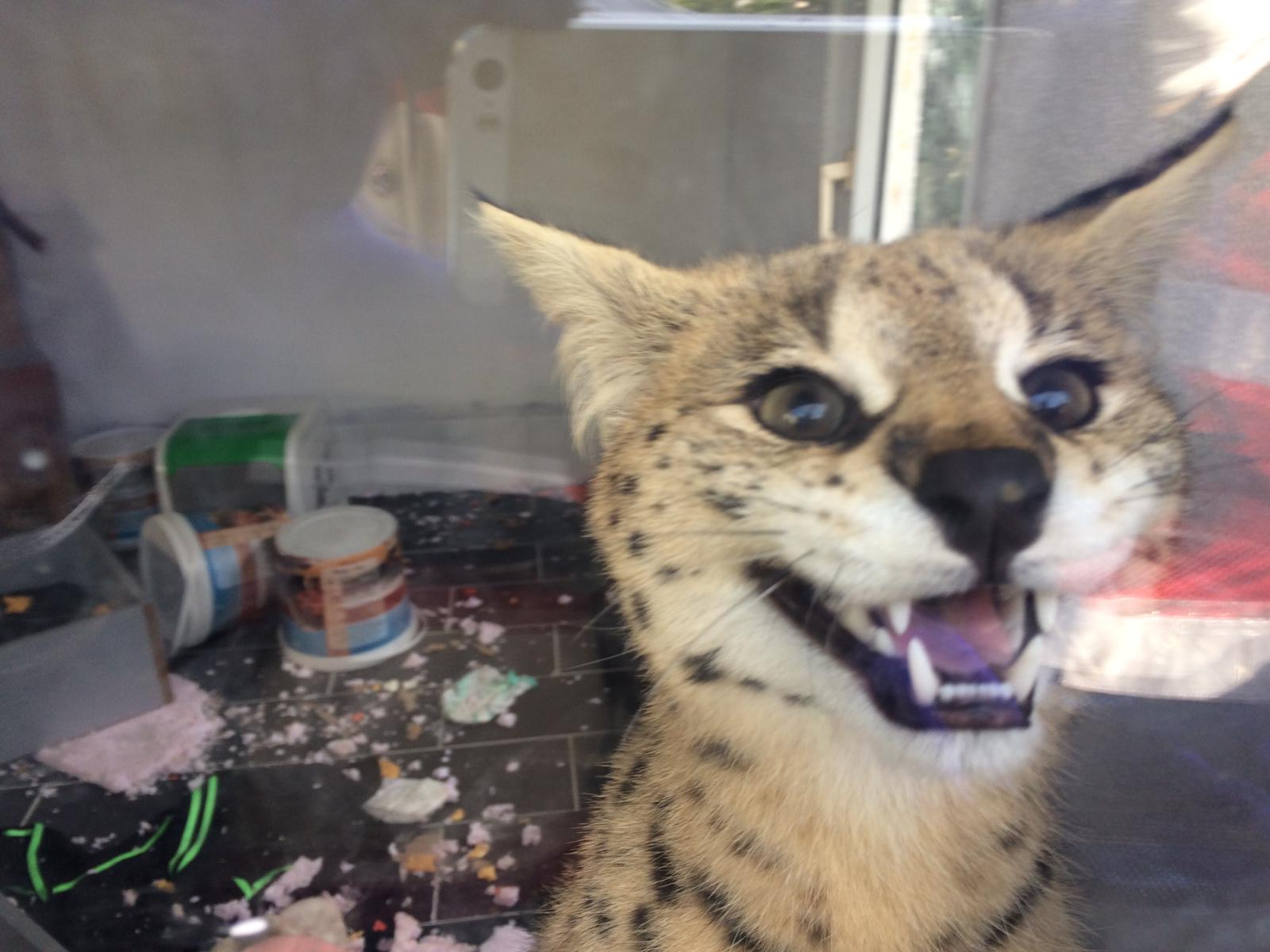 Jandarma 'Savannah' cinsi Afrika yaban kedisi ele geçirdi.